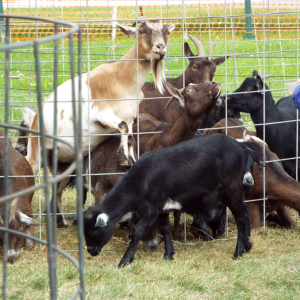 Goats at the harvest festival